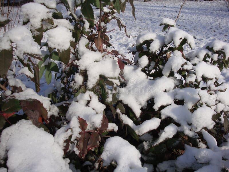 Πράσινη φρέσκια και ξηρά κίτρινη χλόη κάτω από το χιόνι Αναμμένος από το φωτεινό χειμερινό ήλιο στοκ εικόνα με δικαίωμα ελεύθερης χρήσης