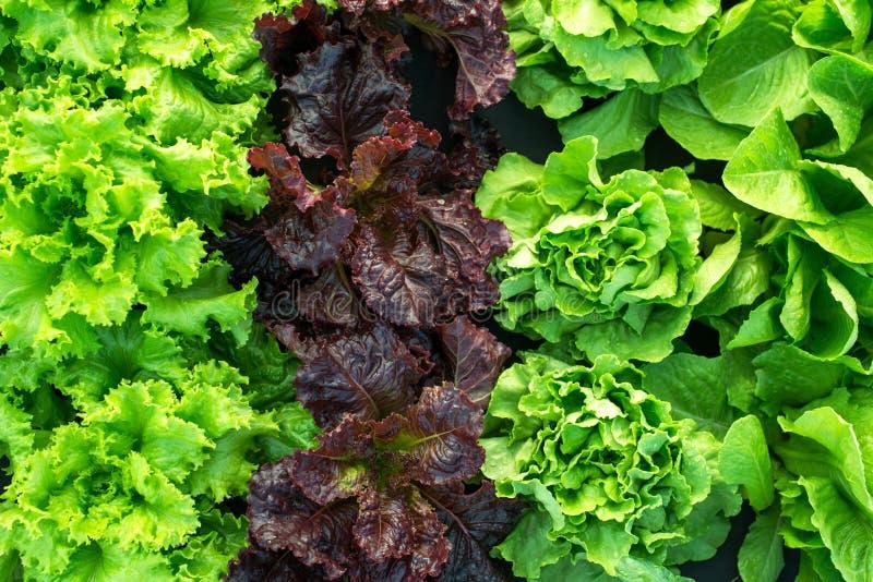 Πράσινη φρέσκια σαλάτα συγκομιδών εγκαταστάσεων μαρουλιού στοκ εικόνες