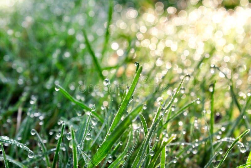 Πράσινη φρέσκια χλόη στις πτώσεις της λαμπρής δροσιάς νωρίς στην έννοια φρεσκάδας πρωινού, άνοιξης και καλοκαιριού στοκ φωτογραφίες