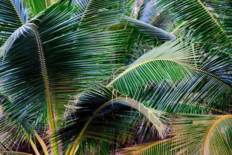 Πράσινη φύση φύλλων κινηματογραφήσεων σε πρώτο πλάνο για το υπόβαθρο Δημιουργικός φιαγμένος από πράσινα φύλλα δέντρων Φοίνικες κα στοκ εικόνα