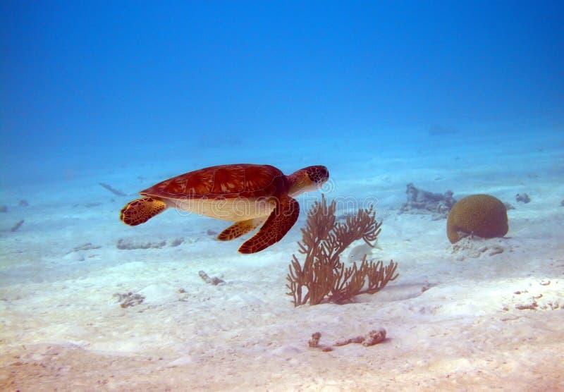 πράσινη χελώνα στοκ εικόνα με δικαίωμα ελεύθερης χρήσης