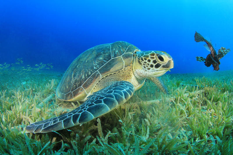 Πράσινη χελώνα στοκ εικόνα
