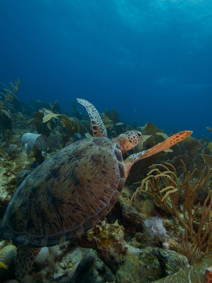 Πράσινη χελώνα 02 στοκ φωτογραφίες