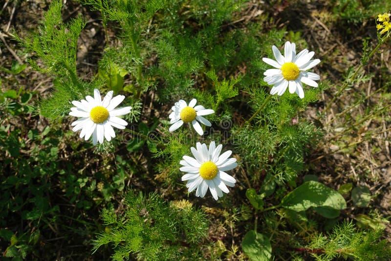 Πράσινη χλόη και chamomiles στη φύση στοκ φωτογραφία με δικαίωμα ελεύθερης χρήσης