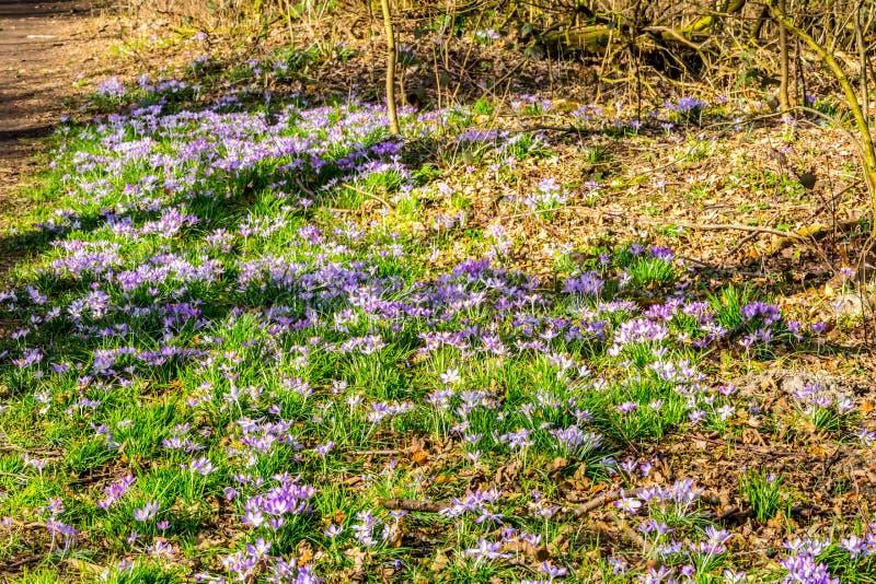 Πράσινη χλόη με τα πορφυρά λουλούδια κρόκων στο δάσος στοκ εικόνες