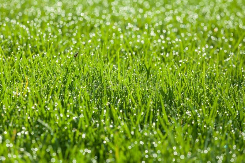 Πράσινη χλόη με τις πτώσεις δροσιάς στις λεπίδες στοκ εικόνα με δικαίωμα ελεύθερης χρήσης