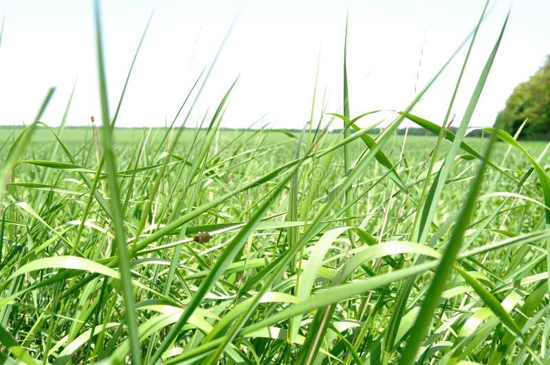Πράσινη χλόη στην κινηματογράφηση σε πρώτο πλάνο τομέων στοκ εικόνες
