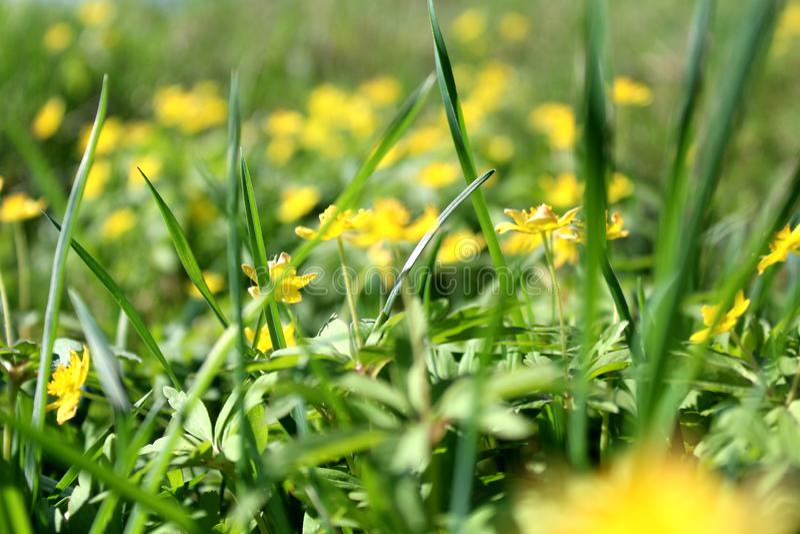 Πράσινη juicy ψηλή χλόη σύστασης με τα κίτρινα λουλούδια ημερησίως θερινού καλοκαιριού στοκ εικόνες