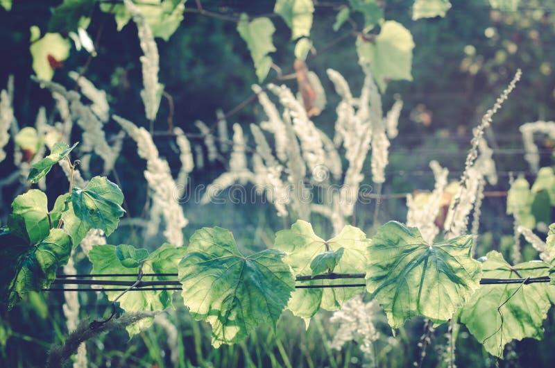 Πράσινοι αμπελώνες και ξηρό γρασίδι στοκ εικόνα
