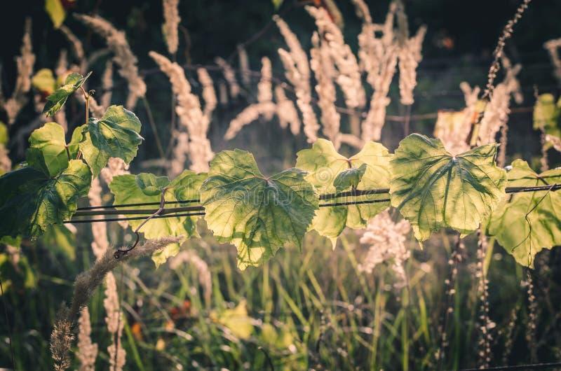 Πράσινοι αμπελώνες και ξηρό γρασίδι στοκ φωτογραφία με δικαίωμα ελεύθερης χρήσης