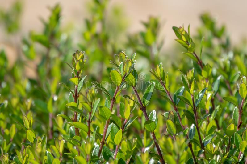 Πράσινοι θάμνοι με τους τακτοποιημένους κλάδους και τα νέα φύλλα στοκ εικόνες