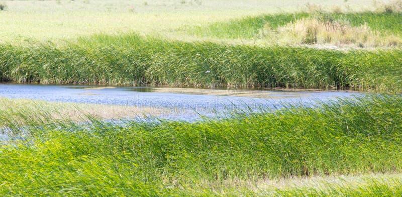 Πράσινοι κάλαμοι στη λίμνη υπαίθρια στοκ εικόνα με δικαίωμα ελεύθερης χρήσης