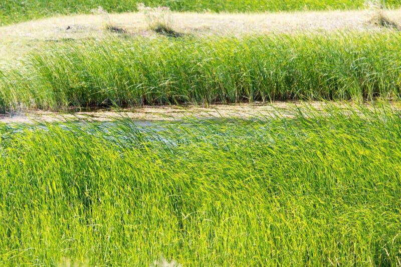 Πράσινοι κάλαμοι στη λίμνη υπαίθρια στοκ εικόνες