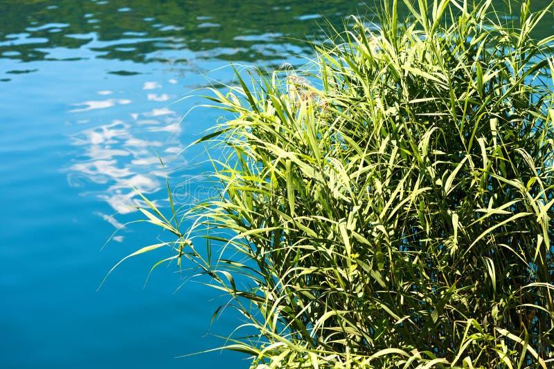 Πράσινοι κάλαμοι σε μια μπλε λίμνη στοκ φωτογραφία