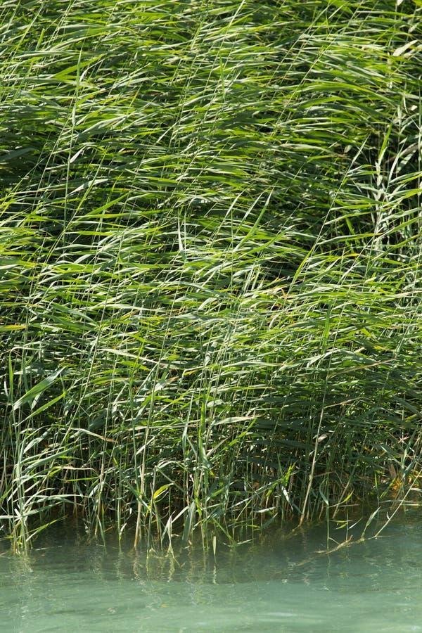 Πράσινοι κάλαμοι στη φύση στοκ φωτογραφίες