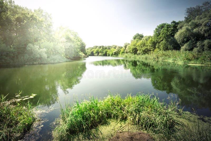 Πράσινοι κάλαμοι στον ποταμό στοκ φωτογραφία
