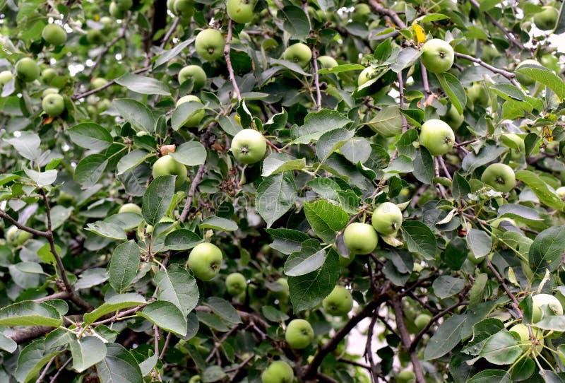 Πράσινοι κλάδοι δέντρων μηλιάς με τα πράσινα μήλα στοκ φωτογραφία