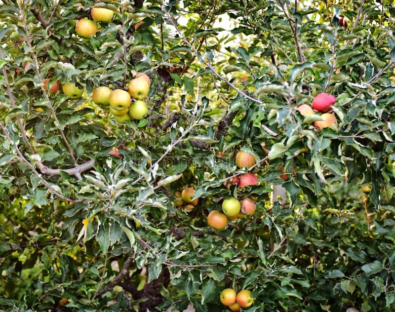 Πράσινοι κλάδοι ενός δέντρου μηλιάς στοκ εικόνες με δικαίωμα ελεύθερης χρήσης