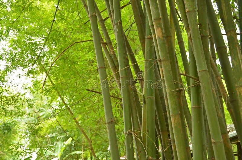 Πράσινοι κορμοί και φύλλα της μάζας μπαμπού στοκ φωτογραφία