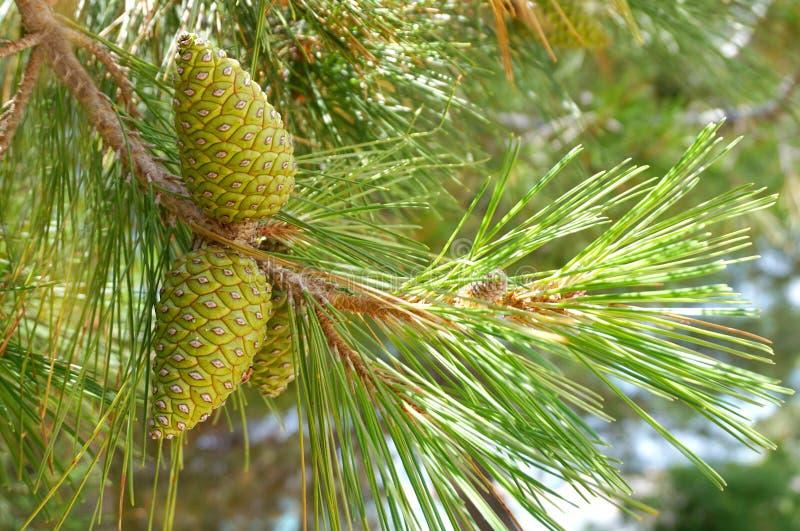 Πράσινοι κώνοι πεύκων σε έναν κλάδο του δέντρου πεύκων με τις ακτίνες ήλιων που περνούν μέσω στοκ φωτογραφία
