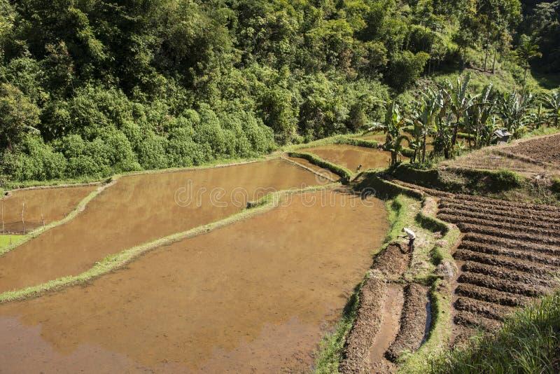 Πράσινοι ορυζώνες ρυζιού sumatra στοκ εικόνα με δικαίωμα ελεύθερης χρήσης