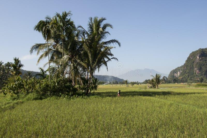 Πράσινοι ορυζώνες ρυζιού sumatra στοκ φωτογραφίες