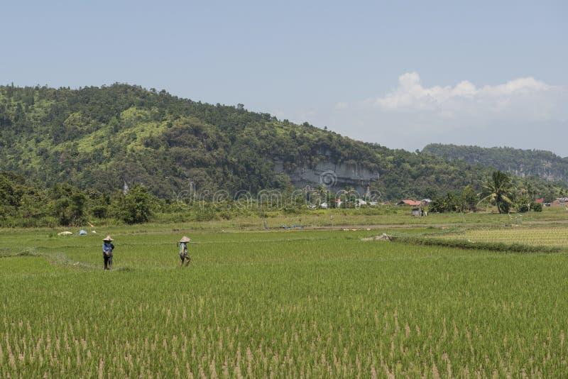 Πράσινοι ορυζώνες ρυζιού sumatra στοκ φωτογραφίες με δικαίωμα ελεύθερης χρήσης