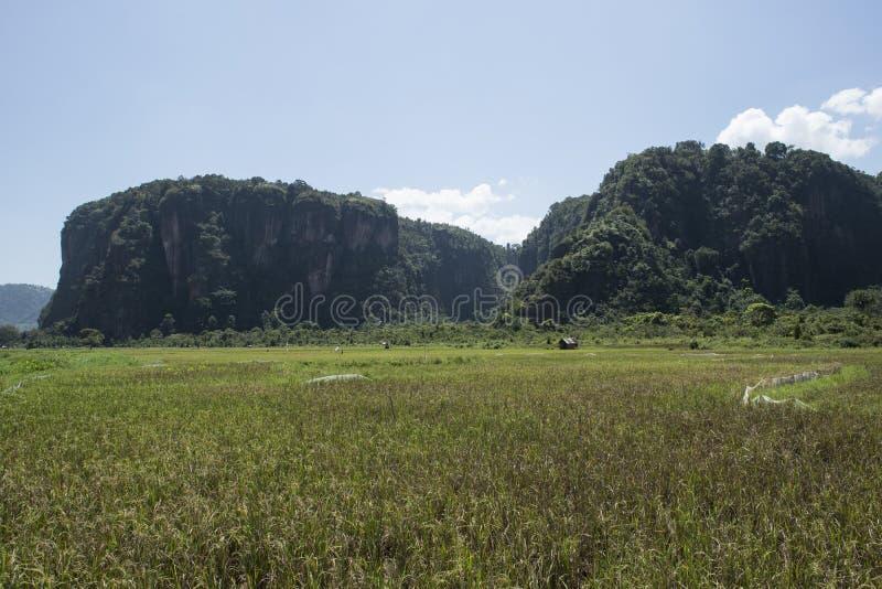 Πράσινοι ορυζώνες ρυζιού sumatra στοκ εικόνες
