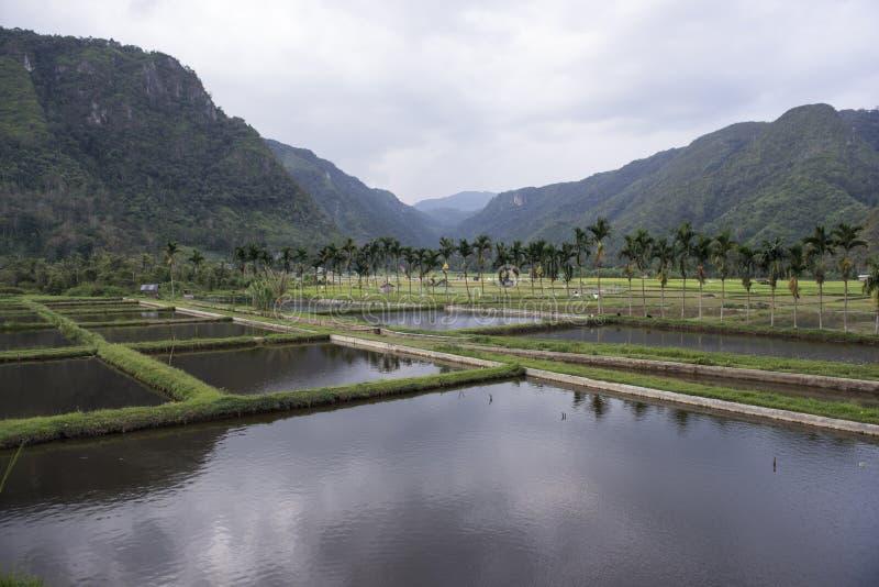 Πράσινοι ορυζώνες ρυζιού sumatra στοκ φωτογραφία
