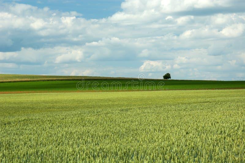 Πράσινοι τομέας και σύννεφα σίτου στον ουρανό στοκ φωτογραφία