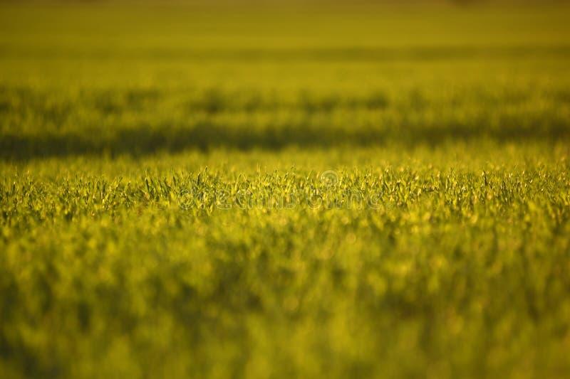 Πράσινοι τομείς του σίτου την άνοιξη φρέσκια πράσινη χλόη σίτου στο sunl στοκ φωτογραφία