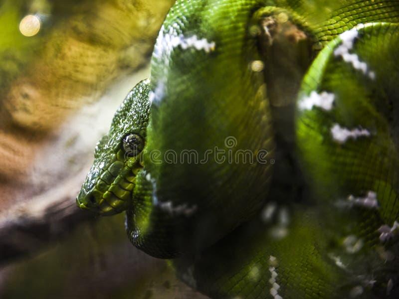 Πράσινοι ύπνοι φιδιών ενώ κατσαρώνεται γύρω από έναν κλάδο στοκ εικόνα με δικαίωμα ελεύθερης χρήσης