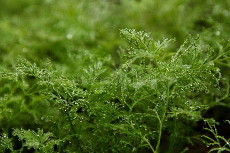 Πράσινος άνηθος με τη δροσιά στοκ φωτογραφία με δικαίωμα ελεύθερης χρήσης