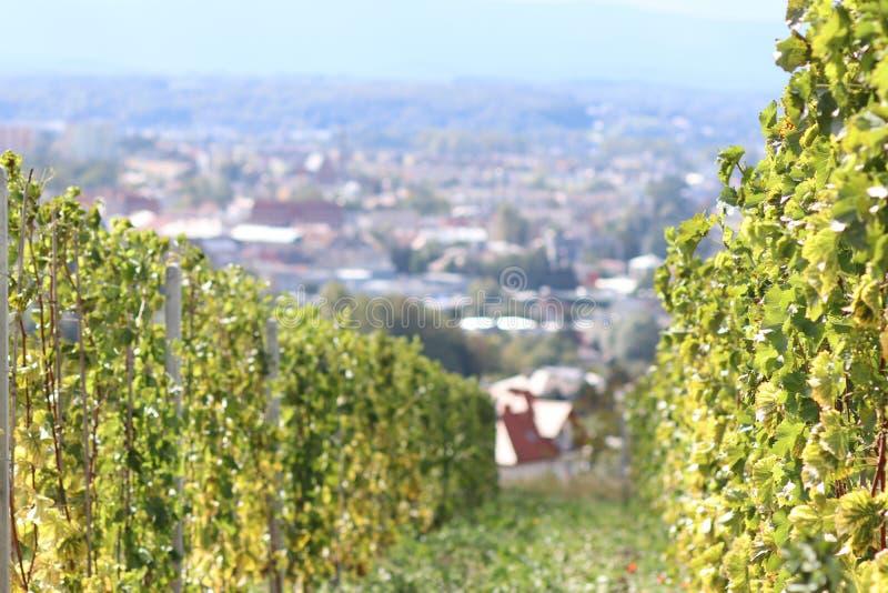 Πράσινος αμπελώνας με μια πόλη στο υπόβαθρο Οινοποίηση σε μια συγκρατημένη ζώνη Οικογένειες και γεωργική γη Παραγωγή οινοπνεύματο στοκ εικόνες