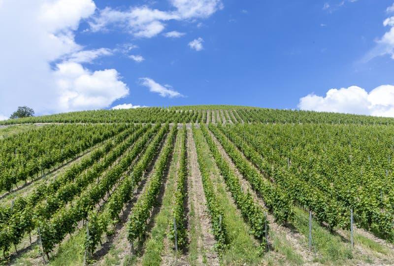 Πράσινος αμπελώνας στο Rheingau στοκ εικόνες με δικαίωμα ελεύθερης χρήσης