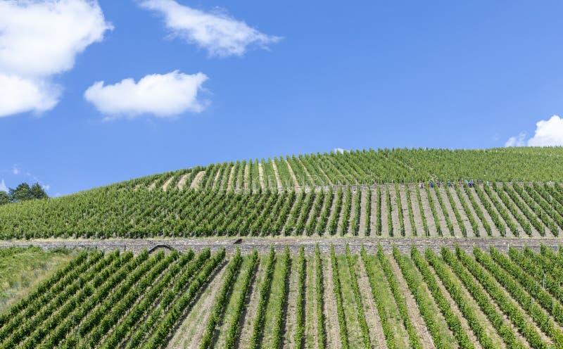 Πράσινος αμπελώνας στο Rheingau στοκ εικόνες