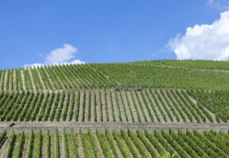 Πράσινος αμπελώνας στο Rheingau στοκ φωτογραφίες