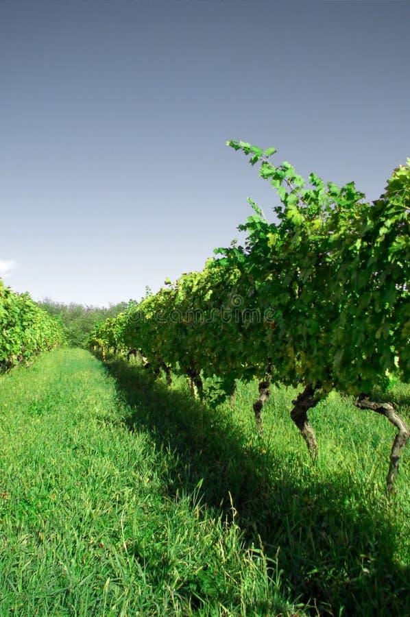 πράσινος αμπελώνας στοκ εικόνες με δικαίωμα ελεύθερης χρήσης