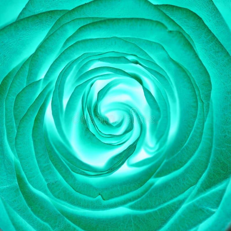 Πράσινος αυξήθηκε λουλούδι, κλείνει επάνω στοκ εικόνα