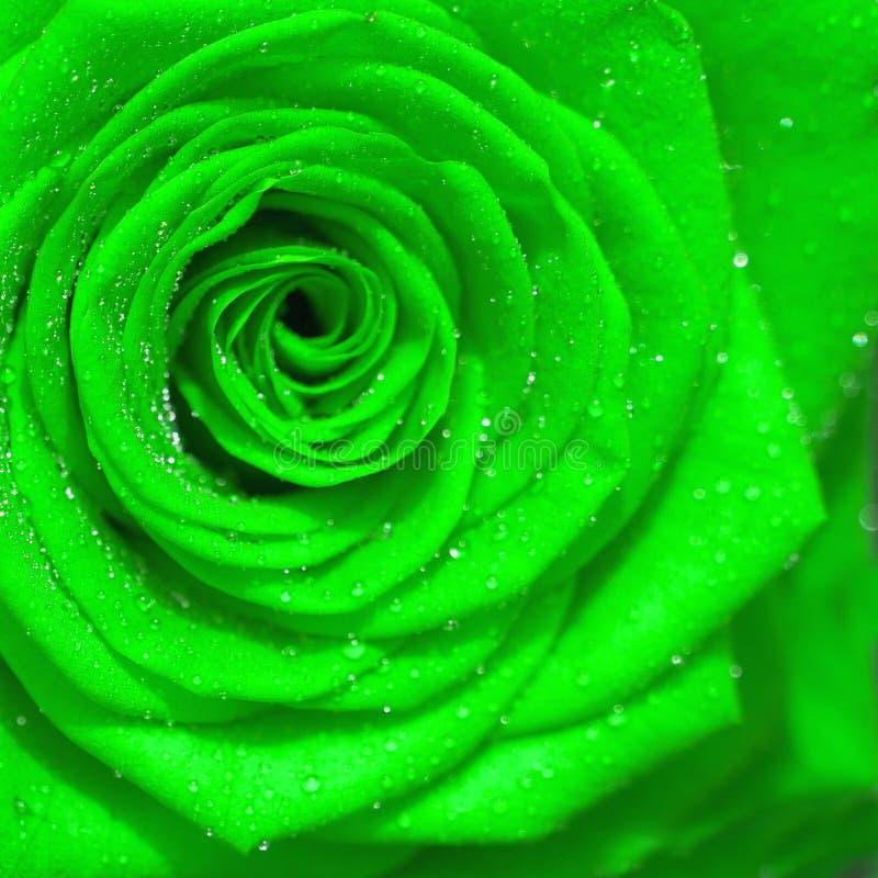 Πράσινος αυξήθηκε λουλούδι, κλείνει επάνω στοκ εικόνα με δικαίωμα ελεύθερης χρήσης
