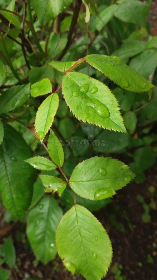 Πράσινος αυξήθηκε φύλλα στοκ φωτογραφίες με δικαίωμα ελεύθερης χρήσης