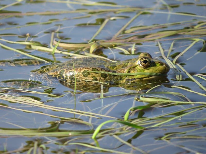 Πράσινος βάτραχος που καταδύεται μερικώς στο νερό, στο υπόβαθρο των αλγών στοκ εικόνες