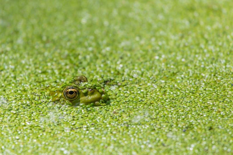 Πράσινος βάτραχος σε ένα σύνολο λιμνών duckweed στοκ φωτογραφία με δικαίωμα ελεύθερης χρήσης