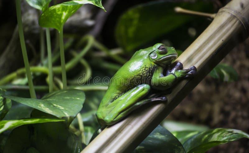 Πράσινος βάτραχος σε ένα φύλλο στοκ φωτογραφίες με δικαίωμα ελεύθερης χρήσης