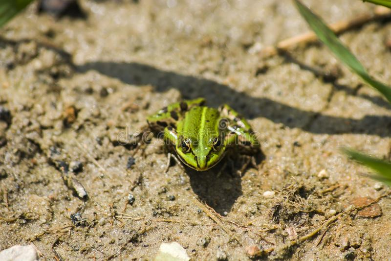 Πράσινος βάτραχος στην υγρή άμμο στοκ εικόνα με δικαίωμα ελεύθερης χρήσης