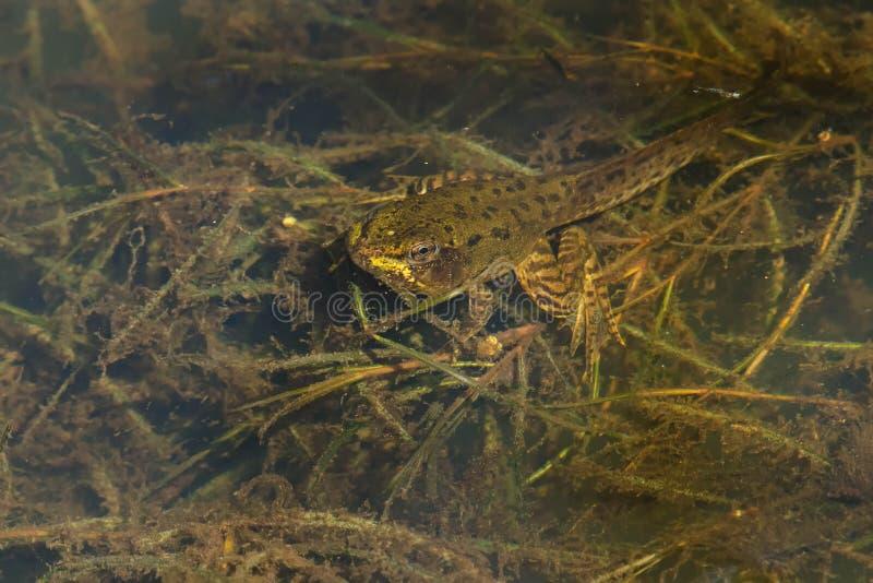Πράσινος βάτραχος - Lithobates clamitans στοκ φωτογραφία