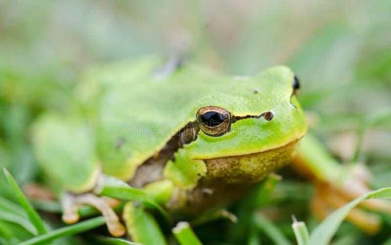 Πράσινος βάτραχος (ridibunda Rana) στη χλόη στοκ εικόνα