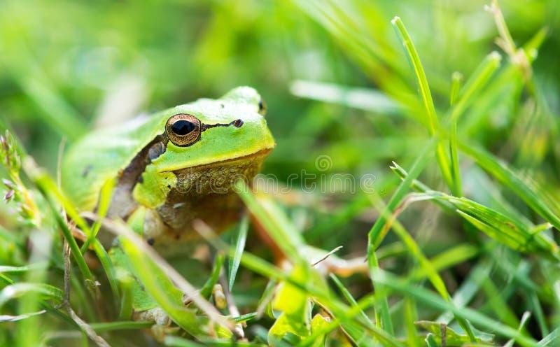 Πράσινος βάτραχος (ridibunda Rana) στοκ φωτογραφίες με δικαίωμα ελεύθερης χρήσης