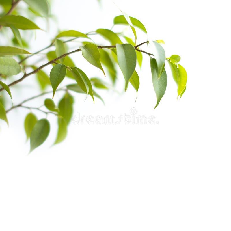 Πράσινος βγάζει φύλλα απομονωμένος στο άσπρο υπόβαθρο στοκ εικόνα με δικαίωμα ελεύθερης χρήσης