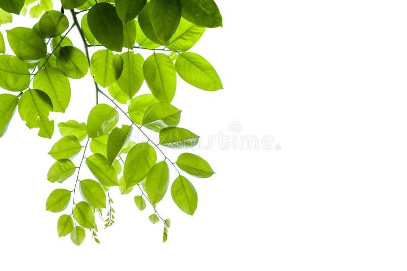 Πράσινος βγάζει φύλλα απομονωμένος στο λευκό στοκ φωτογραφίες με δικαίωμα ελεύθερης χρήσης